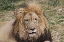 Free Lion 3 Stock Photo - 3011250
