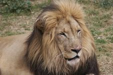 Free Lion 4 Royalty Free Stock Photo - 3011255