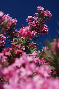 Free Pink Flowers Royalty Free Stock Photography - 3011387
