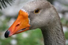 Free Grey Duck Royalty Free Stock Image - 3011396