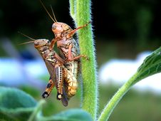 Free American Grasshopper Love Stock Image - 3011451