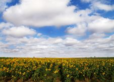 Free Sunflower And Blue Sky Stock Image - 3015041
