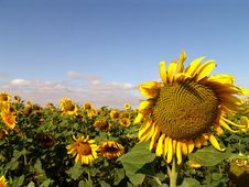 Free Sunflower And Blue Sky Stock Image - 3015051