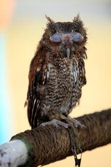 Free Screech Owl Stock Photos - 3015733