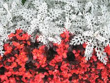 Free Red And White Flowers Royalty Free Stock Images - 3016079