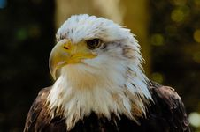 Free Bald Eagle (2) Stock Photo - 3016360