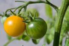 Free Yellow Tomato Stock Photo - 3016450