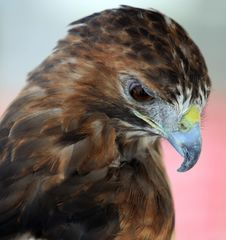 Free Red Tailed Hawk Royalty Free Stock Photo - 3016585
