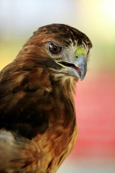 Free Red Tailed Hawk Royalty Free Stock Image - 3016676