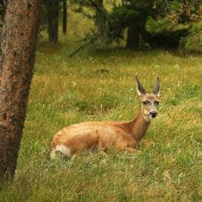 Free A Resting Deer Stock Photo - 3016760