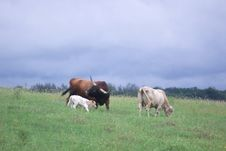 Free Cattle Stock Photography - 3017342