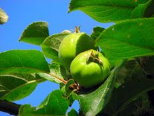 Free Green Apples Stock Image - 3019111