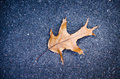 Free Autumn Oak Leaf Royalty Free Stock Images - 30101059