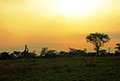 Free African Landscape Giraffes Trees At Sunrise Africa Stock Photos - 30104843