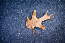 Free Autumn Oak Leaf Royalty Free Stock Images - 30101059