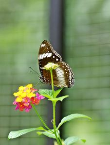 Free A White-spotted Butterfly Stock Photography - 30102902
