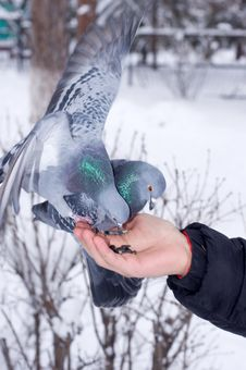 Free Pigeons On The Hand. Royalty Free Stock Photo - 30102955