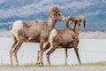 Free Wildlife Couple Stock Photo - 30112480