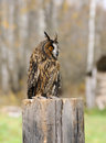 Free Young Euroasian Eagle Owl Stock Photo - 30116150