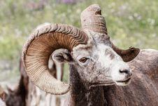 Free Mountain Sheeps Stock Photos - 30112483