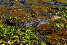Free A Wild Alligator In The Swampy Waters Of Brazos Bend State Park, Texas. Stock Images - 30112734