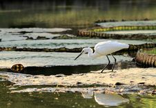 Free Little Egret Stock Photos - 30114253