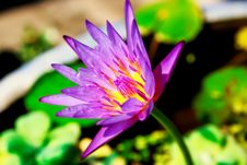 Free Purple Lotus Stock Images - 30115404
