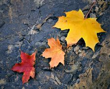 Free Colored Maple Leaf On Stone Royalty Free Stock Photos - 30120028