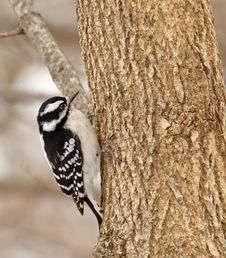 Free Female Downy Woodpecker Stock Photo - 30120040