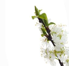 Free Flower On White Background Royalty Free Stock Images - 30122219
