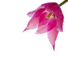Free Tulip On White Background Stock Images - 30122264