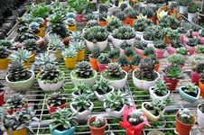 Free Cactuses In Pots. Royalty Free Stock Photography - 30129817