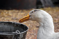 Free Goose Stock Photography - 30137252