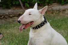 Free Fighting Dog Bull Terrier Breed Royalty Free Stock Image - 30132496