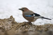 The Eurasian Jay &x28;Garrulus Glandarius&x29; Stock Photos