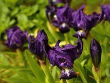Free Blue Irises Royalty Free Stock Image - 30136196