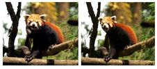 Free Red Panda Royalty Free Stock Photo - 30137695