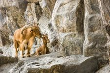 Free Mountain Goats In Love Royalty Free Stock Photo - 30137975
