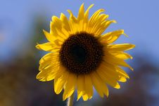 Free Sunflower Stock Photo - 30139990