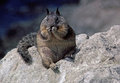 Free An Obese Squirrel. Royalty Free Stock Photos - 30140848