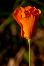 Free Early Morning Sun Shot Of A Single New Bud Of A Wild Golden Poppy Royalty Free Stock Photos - 30145878