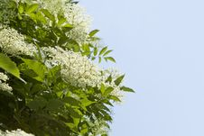 Free Elder Flowers In Full Bloom &x28;Sambucus Nigra&x29; Royalty Free Stock Photos - 30142438