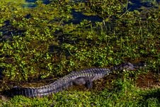 Free Wild Alligator In Brazos Bend State Park, Texas. Royalty Free Stock Image - 30145856