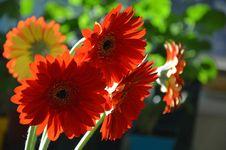 Free Orange Gerbers Royalty Free Stock Photo - 30145975