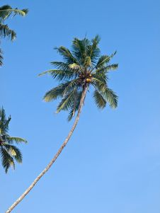Free Coconut Palm Tree Stock Images - 30147924
