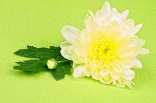 Free Yellow Chrysanthemum Stock Images - 30151344
