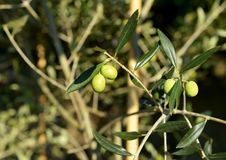 Olives On The Branch Royalty Free Stock Image