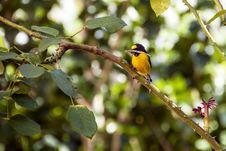 Bird Bananaquit Royalty Free Stock Photo