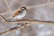 Free White-throated Sparrow, Zonotrichia Albicollis Royalty Free Stock Images - 30154659