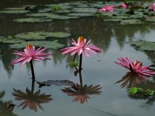 Free Pink Lotus Flower Royalty Free Stock Images - 30158749